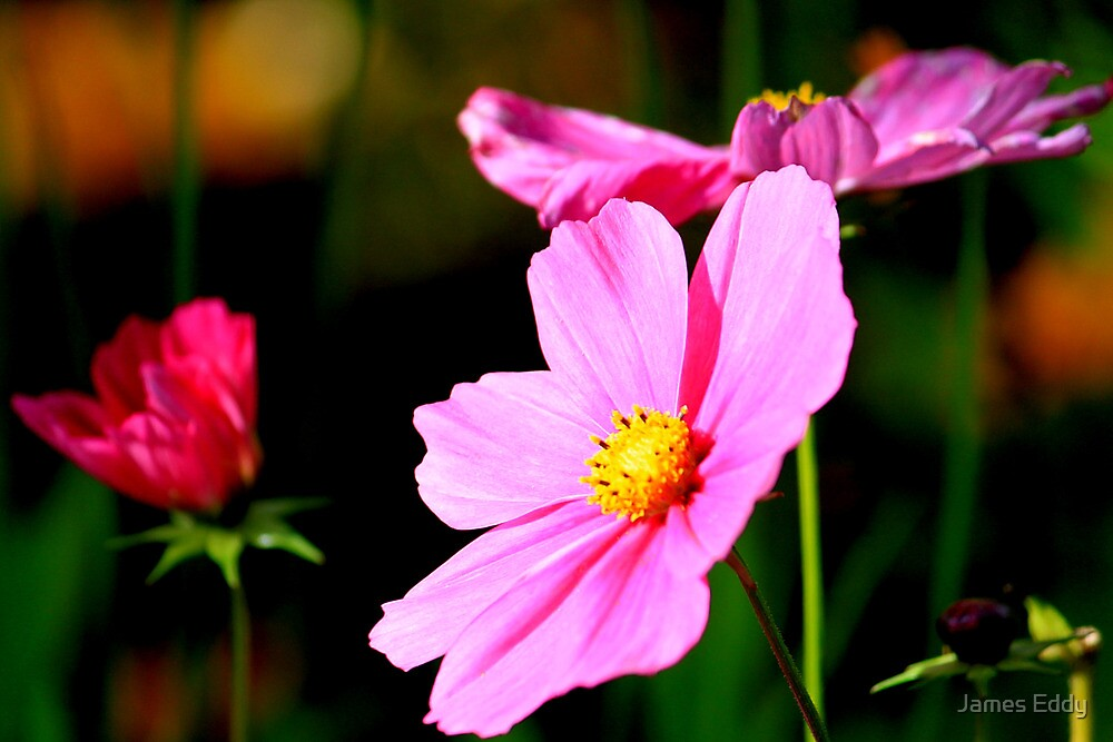Pink and Yellow Cosmo by James Eddy