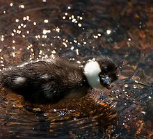 Common Goldeneye Duckling - Shaking water off its face after a dive by Joy Leong-Danen