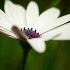 White Daisy by calgecko