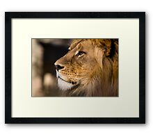 Lion - Adelaide Zoo Framed Print