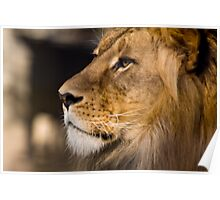 Lion - Adelaide Zoo Poster