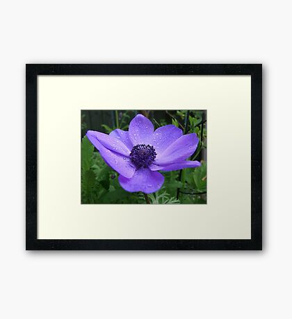 Purple Anemone Framed Print