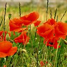 Field of Poppies by AnnDixon