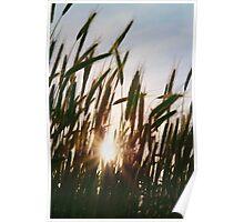 sun setting, seen through the wheat field Poster