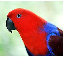 Simply Red - Eclectus parrot Photographic Print