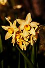 Narcissus Jonquilla by Deborah McGrath