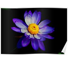 Nymphae violacea - waterlily  Poster
