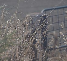 wheat and fence by dennis wingard