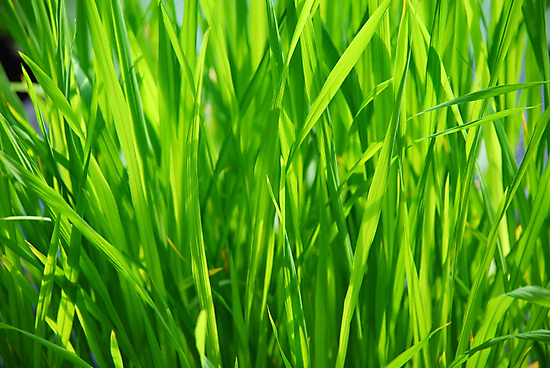 grass closeup by zuzanab