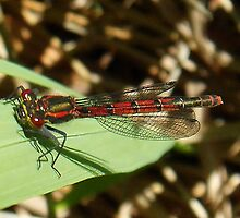 Red Damsel Fly by sarnia2