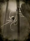 Spider by Shelly Harris