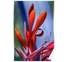Cana Blossom Poster