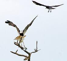 10-141 ~ Grackel & Osprey fight for fish by djyoriginals