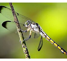 Green Dragonfly by Paulette1021