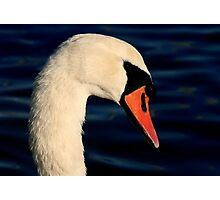 The Mute Swan Photographic Print
