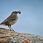 Rock Pipit, Anthus petrosus by David Lewins LRPS