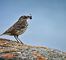 Rock Pipit, Anthus petrosus by David Lewins