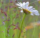 Oxeye Daisy - After The Rain by T.J. Martin