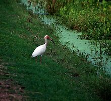 White Ibis wandering around by Ann Reece