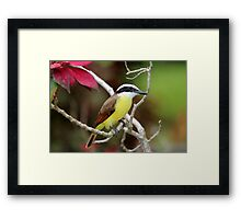 Great Kiskadee Framed Print