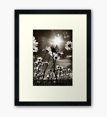 sundrenched daisies ..... Framed Print