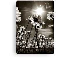 sundrenched daisies ..... Canvas Print