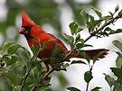 Cardinal eating wild berries by Dennis Cheeseman
