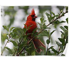 Cardinal eating wild berries Poster