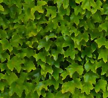 Not quite ivy by Morag Anderson