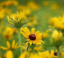 Black-eyed Susans by Brian Gaynor