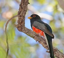 Elegant Trogon by DavidQuanrud