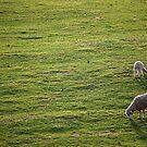 Grazing sheeps by dcordeiro