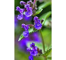 Lavender Catmint Photographic Print