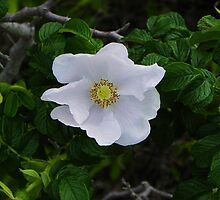 White Beach Rose by quiltmaker