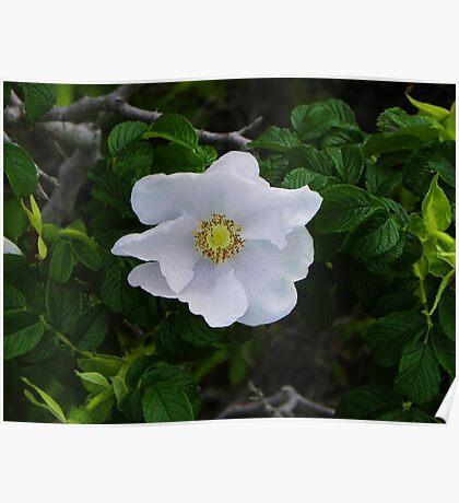 White Beach Rose Poster
