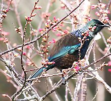 Tui and the beautiful colours of nature........! by Roy  Massicks