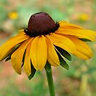 Black Eyed Susan by Tracey Hampton