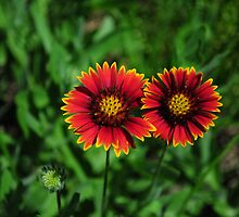 Indian Blanket by ClintDMc