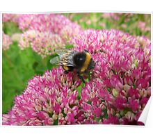 Bumble Bee on the Sedum Poster