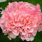 Peach-colored geranium by Maria1606