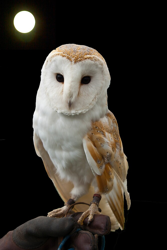 Portrait of a Barn Owl by John Thurgood