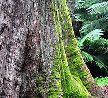 Mt Wilson NSW - Giant Tree - Cathedral of Ferns (2) by Bev Woodman