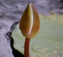 Beginings of a waterlily by Marydd
