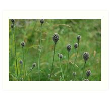 The knapweed song Art Print