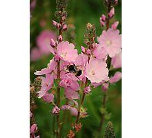 Bumblebee at work Photographic Print
