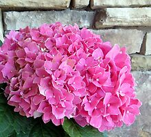 Hydrangea and a Rock Wall by AuntDot