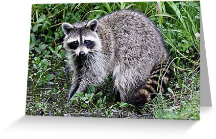 Raccoon Eyes by Paulette1021
