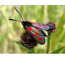 Five-spot Burnet Moth Photographic Print