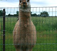 Emu Llama behind barbwire fence by PhotoCrazy6