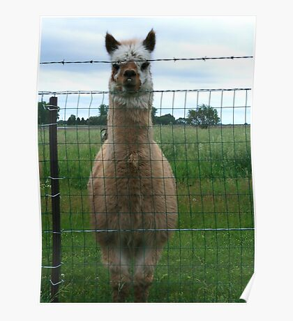 Emu Llama behind barbwire fence Poster